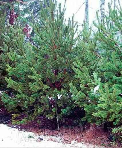 Нововысаженные сосны высотой 4м — высокая ширма, прикрывающая соседний участок