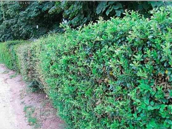 Сред неростовая неформированная живая изгородь
