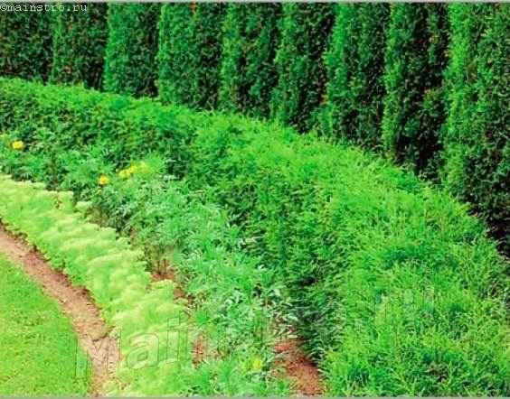 Сформированная многоярусная смешанная живая изгородь из хвойных и травянистых многолетников