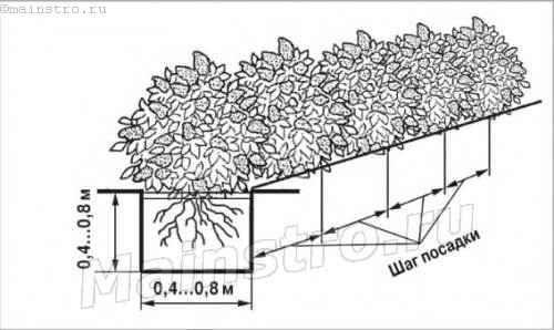 Правила посадки однорядной низкой живой изгороди