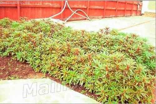 Неформированный бордюр высотой 0,5.. .0,6 м из травянистых многолетников