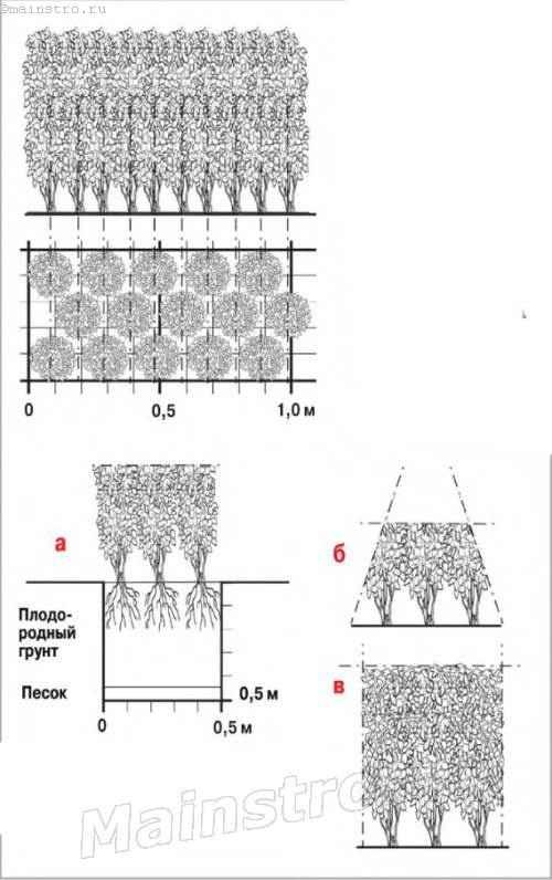 Правила создания формированной трёхрядной живой изгороди из бирючины - высота 0,8 - 1,5м