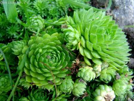 Молодило (Sempervivum)