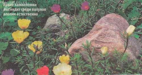 Яркие камнеломки