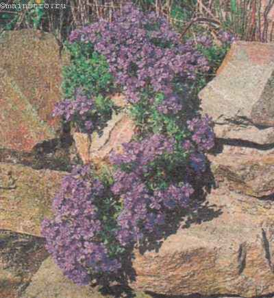 Фиалки могут расти между трещинами мини-стенки