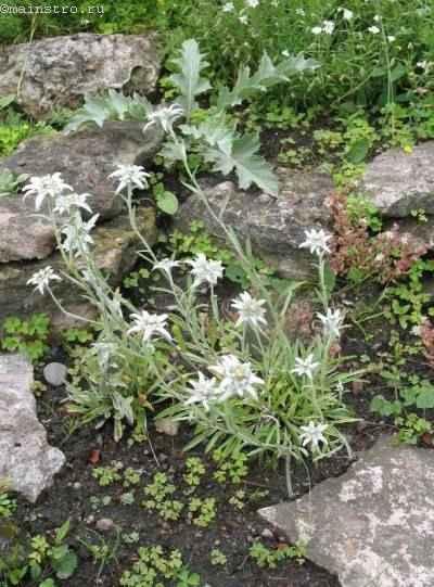 Эдельвейс альпийский (Leontopodium alpinum)